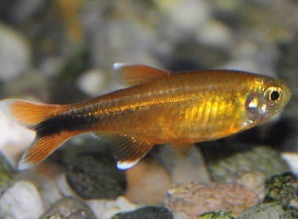 Медная тетра - красивая аквариумная рыбка
