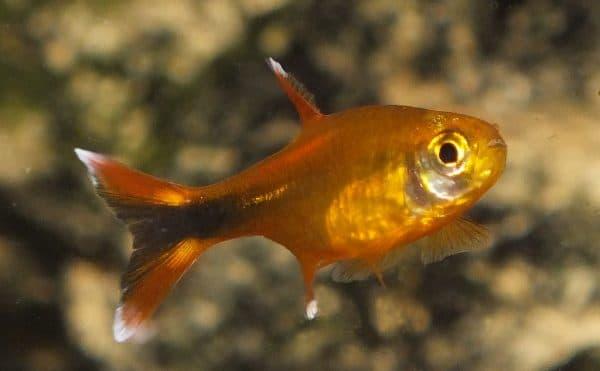 Медная тетра - красивая рыбка в аквариуме