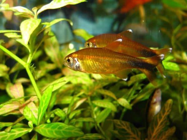 Медная тетра - прекрасная аквариумная рыбка