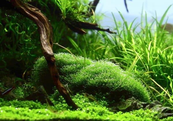 Польза риччии в аквариуме