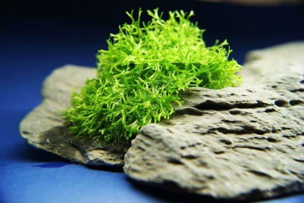 Риччия - красивое аквариумное растение