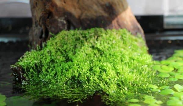 Риччия плавающая - аквариумное растение