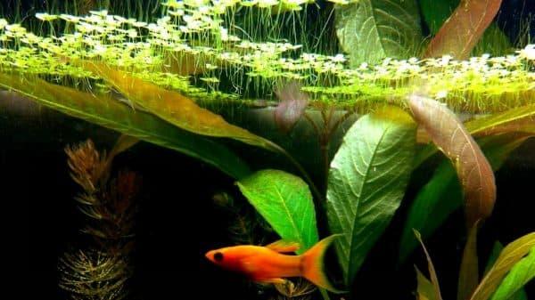 Ряска - красивое аквариумное растение