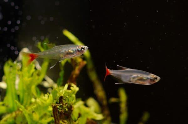 Стеклянная тетра - красивая рыбка в аквариуме