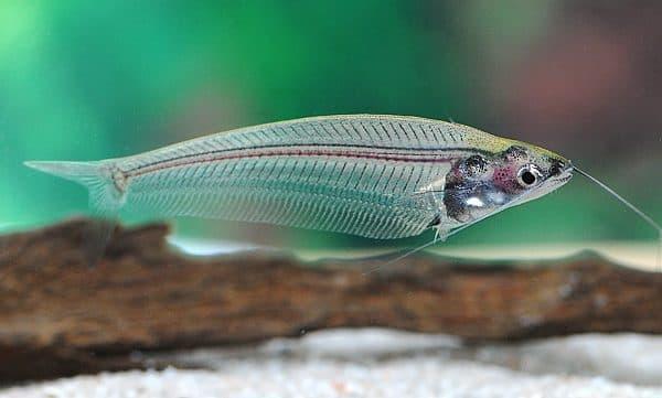 Стеклянный сомик - красивая аквариумная рыбка