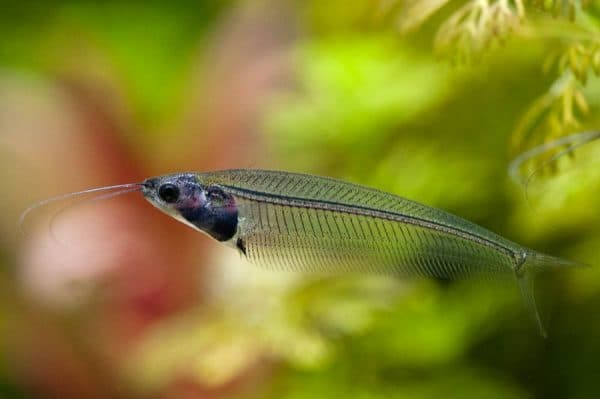Стеклянный сомик - красивая рыбка