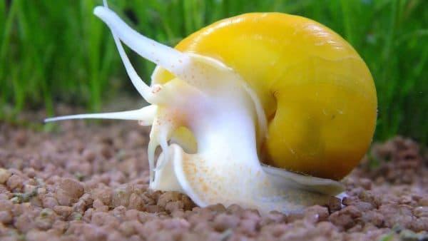 Ампулярия улитка в аквариуме