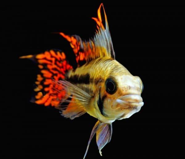 Апистограмма какаду - красивая рыбка