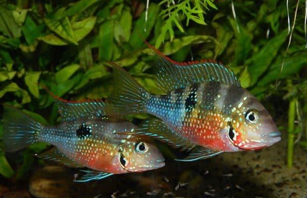 Цихлазома Элиота - удивительная рыбка в аквариуме