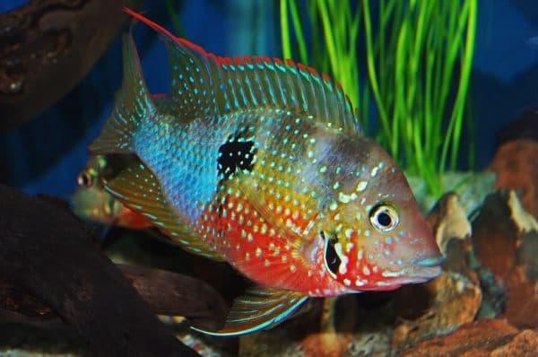 Цихлазома Элиота - красивая рыбка