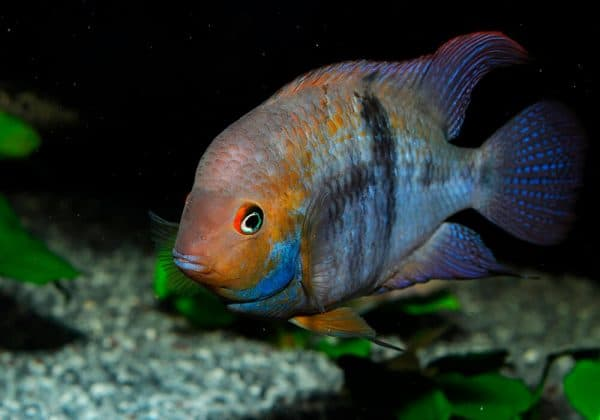 Цихлазома Седжика - красивая рыбка в аквариуме