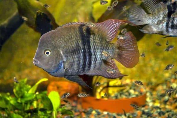 Цихлазома Седжика в аквариуме