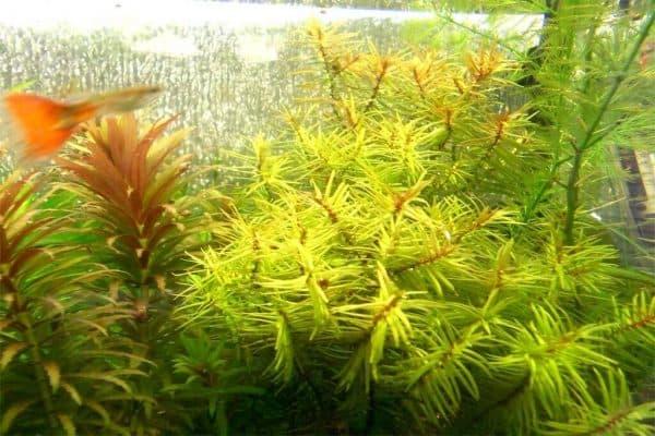 Дидиплис - прекрасное аквариумное растение