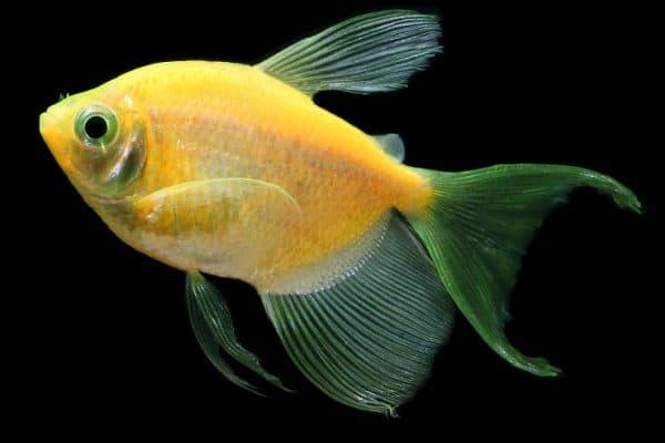 Фото флуоресцентных аквариумных рыбок Глофиш
