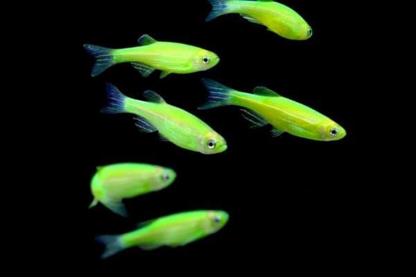 Фотосветящихся аквариумных рыбок