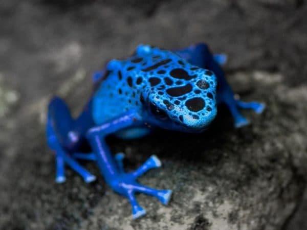 Голубой древолаз