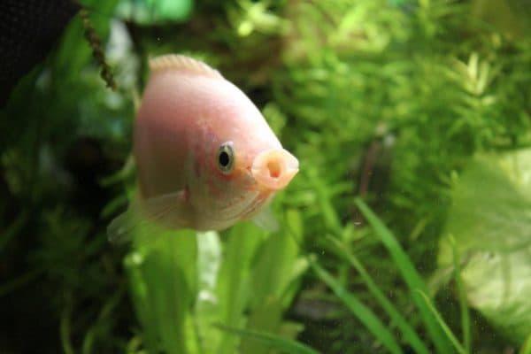 Гурами целующиеся - великолепные рыбки в аквариуме