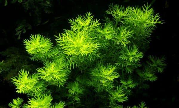 Хоттония - прекрасное растение в аквариуме