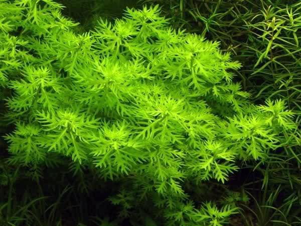 Хоттония - растение в аквариуме