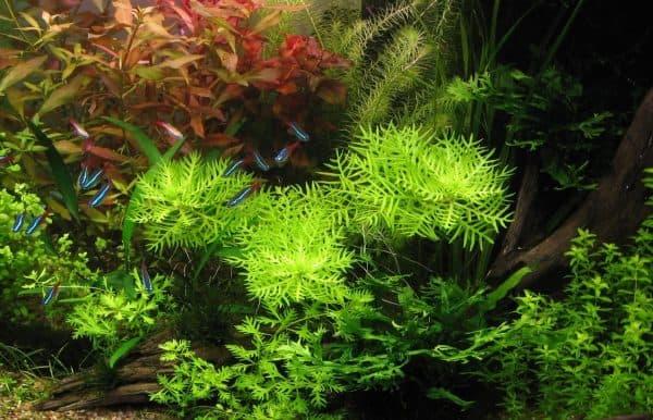 Хоттония - удивительное растение в аквариуме