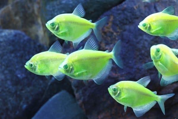 Красивое фото флуоресцентных аквариумных рыбок Глофиш