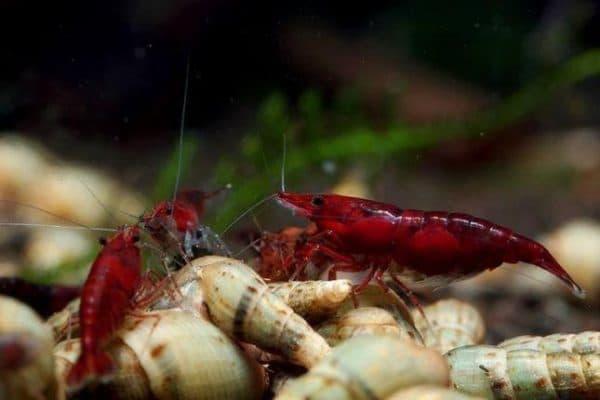 Кровавая Мэри креветка в аквариуме