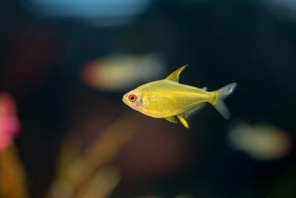 Лимонная тетра - красивая рыбка