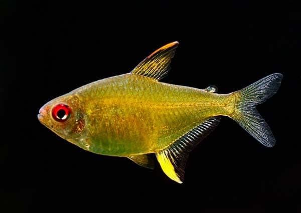Лимонная тетра - прекрасная рыбка
