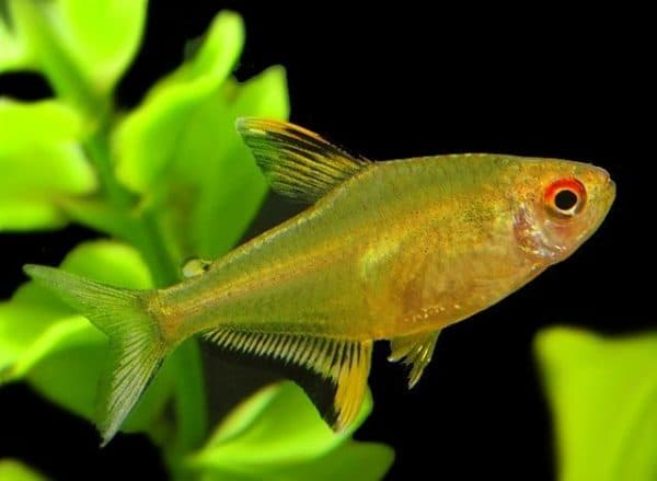 Лимонная тетра - удивительная рыбка в аквариуме