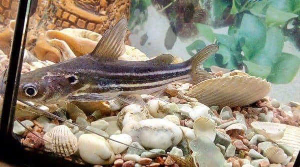 Мистус полосатый - красивый сомик в аквариуме