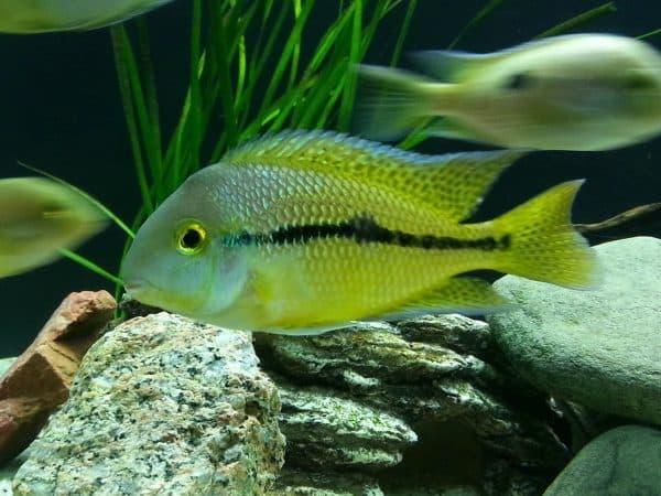 Никарагуанская цихлазома - красивая рыбка в аквариуме