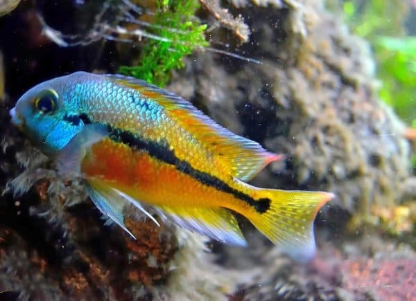 Никарагуанская цихлазома в аквариуме