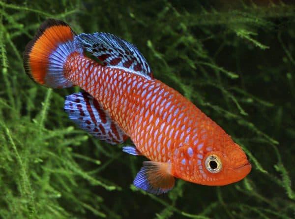 Нотобранхиус - прекрасная рыбка