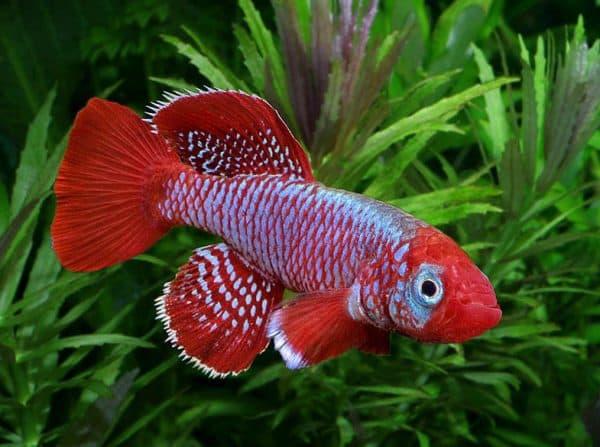 Нотобранхиус - рыбка в аквариуме