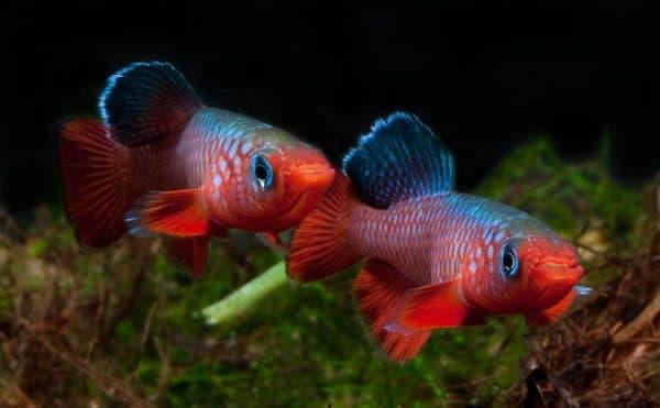 Нотобранхиус - удивительная рыбка