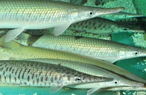 Панцирная щука - прекрасная рыбка