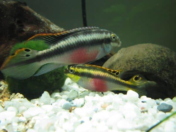 Пельвикахромис пульхер - прекрасная рыбка