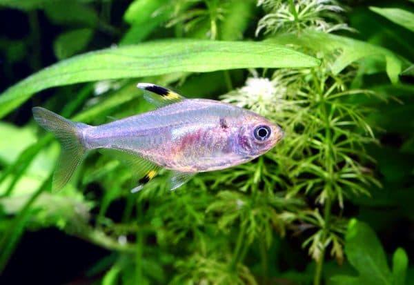 Пристелла - красивая аквариумная рыбка