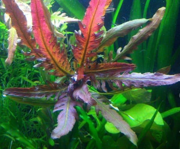 Стаурогин бихар в аквариуме