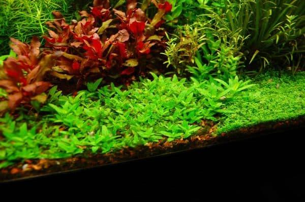 Стаурогин - красивое растение