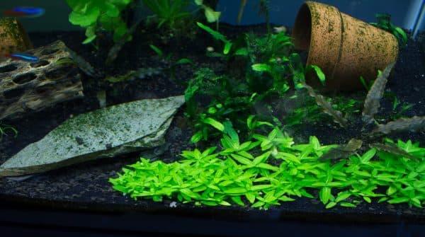 Стаурогин - прекрасное растение