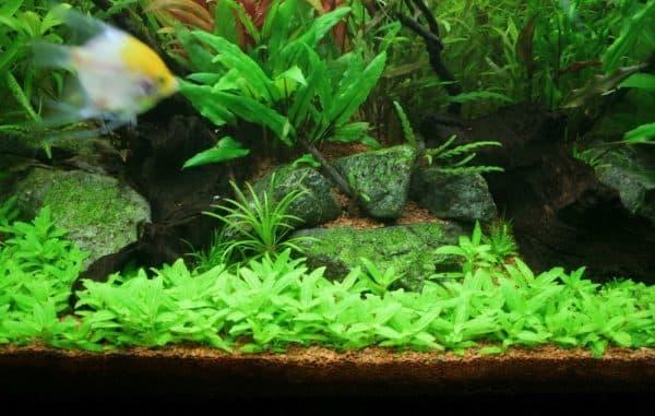 Стаурогин - прекрасное растение в аквариуме