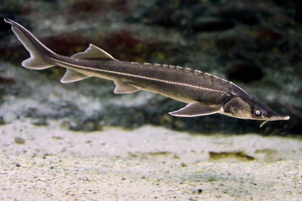 Стерлядь - невероятная рыбка в аквариуме
