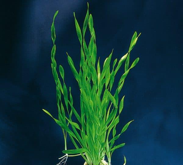 Валлиснерия спиральная - красивое растение