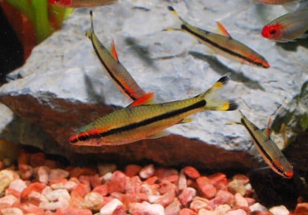 Барбус денисони - красивая рыбка в аквариуме