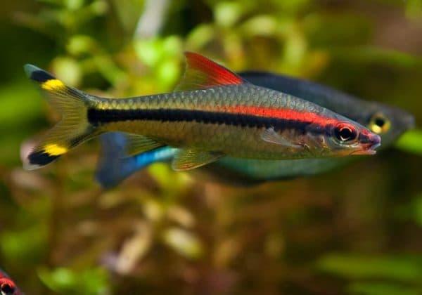 Барбус денисони - удивительная рыбка