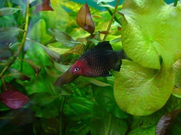 Черный барбус - красивая рыбка