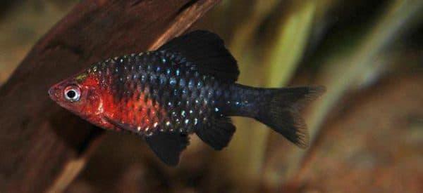 Черный барбус - красивая рыбка в аквариуме