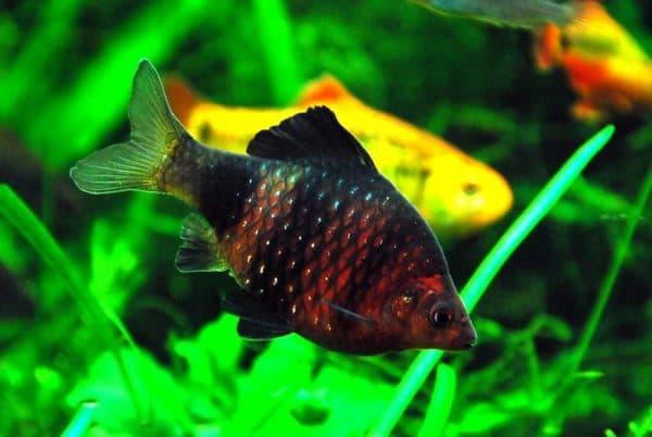 Черный барбус - прекрасная рыбка в аквариуме