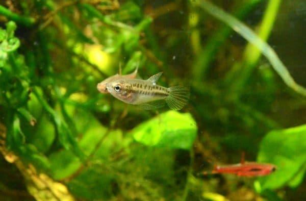 Гурами карликовый - прекрасная рыбка